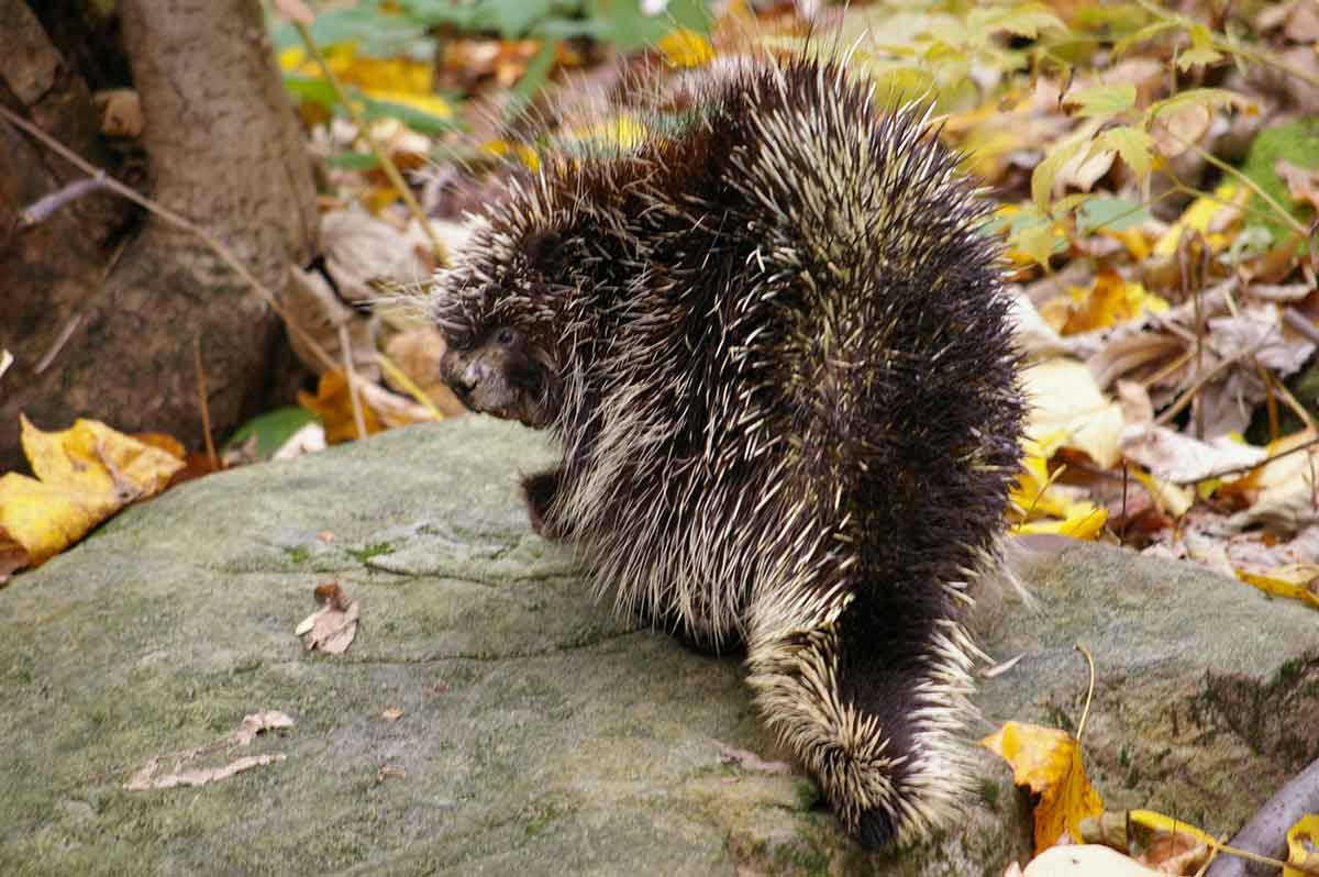 Porcupines are covered in quills.