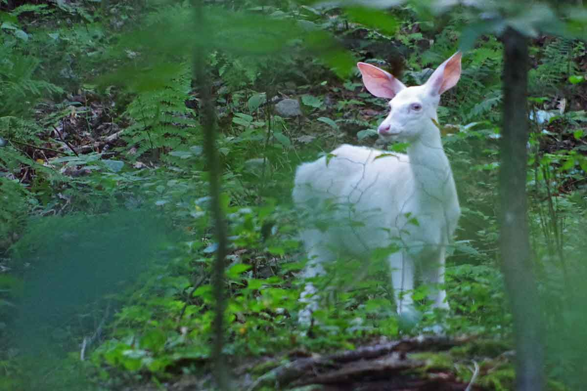 Albino deer are unusual.