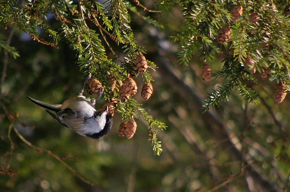 The Great Backyard Bird Count will surely lead to sightings of chickadees.