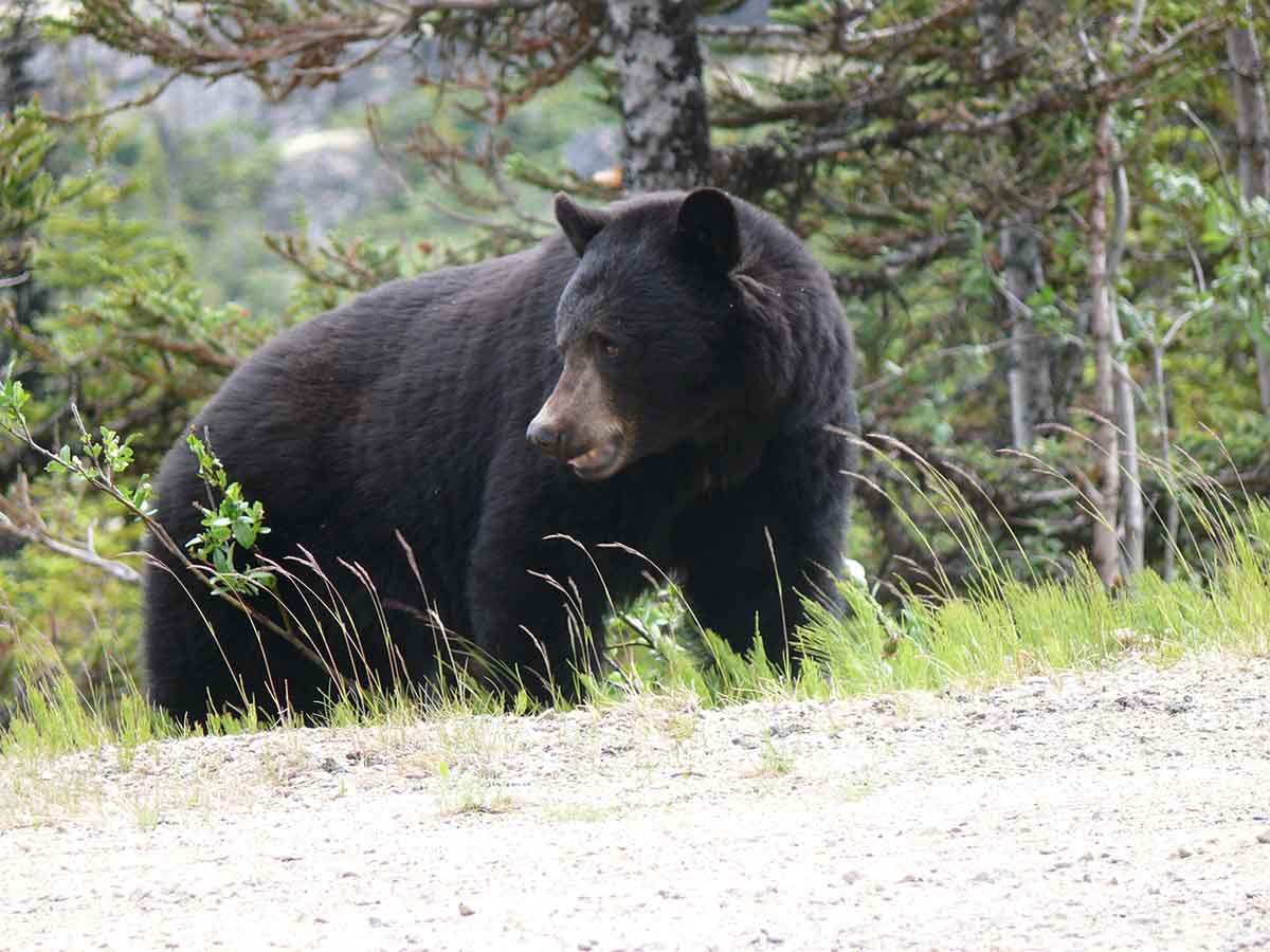 black-bears-field-judging - EverybodyAdventures