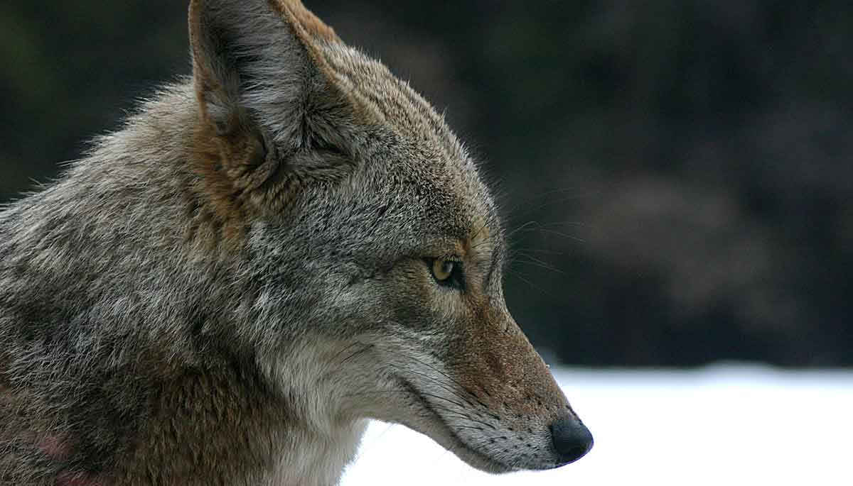 Calling coyotes is popular in winter.
