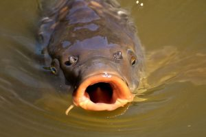 Michigan is awarding money to anyone who can stop invasive carp.