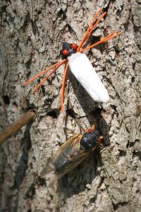 Cicadas can be caught on flies.
