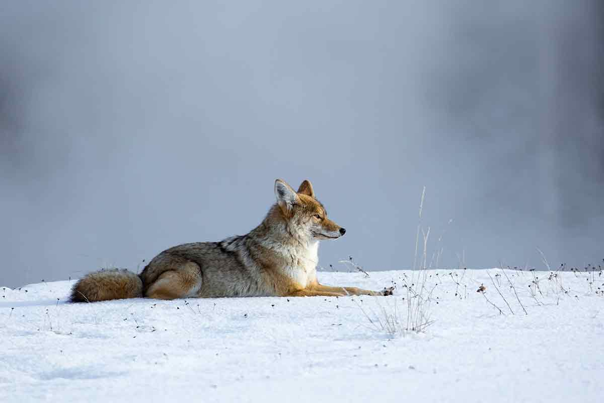 A coyote bounty for wildlife management?