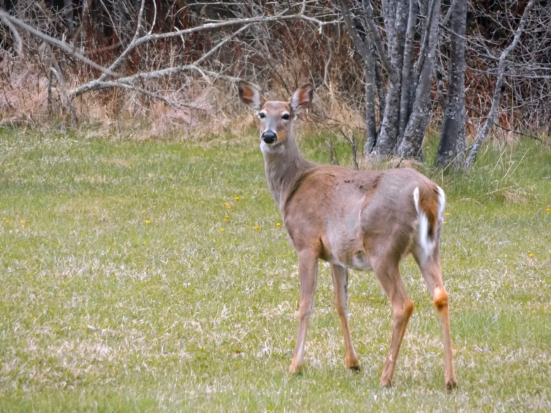 Hunters are being asked to help control CWD by shootign additional white-tailed deer..