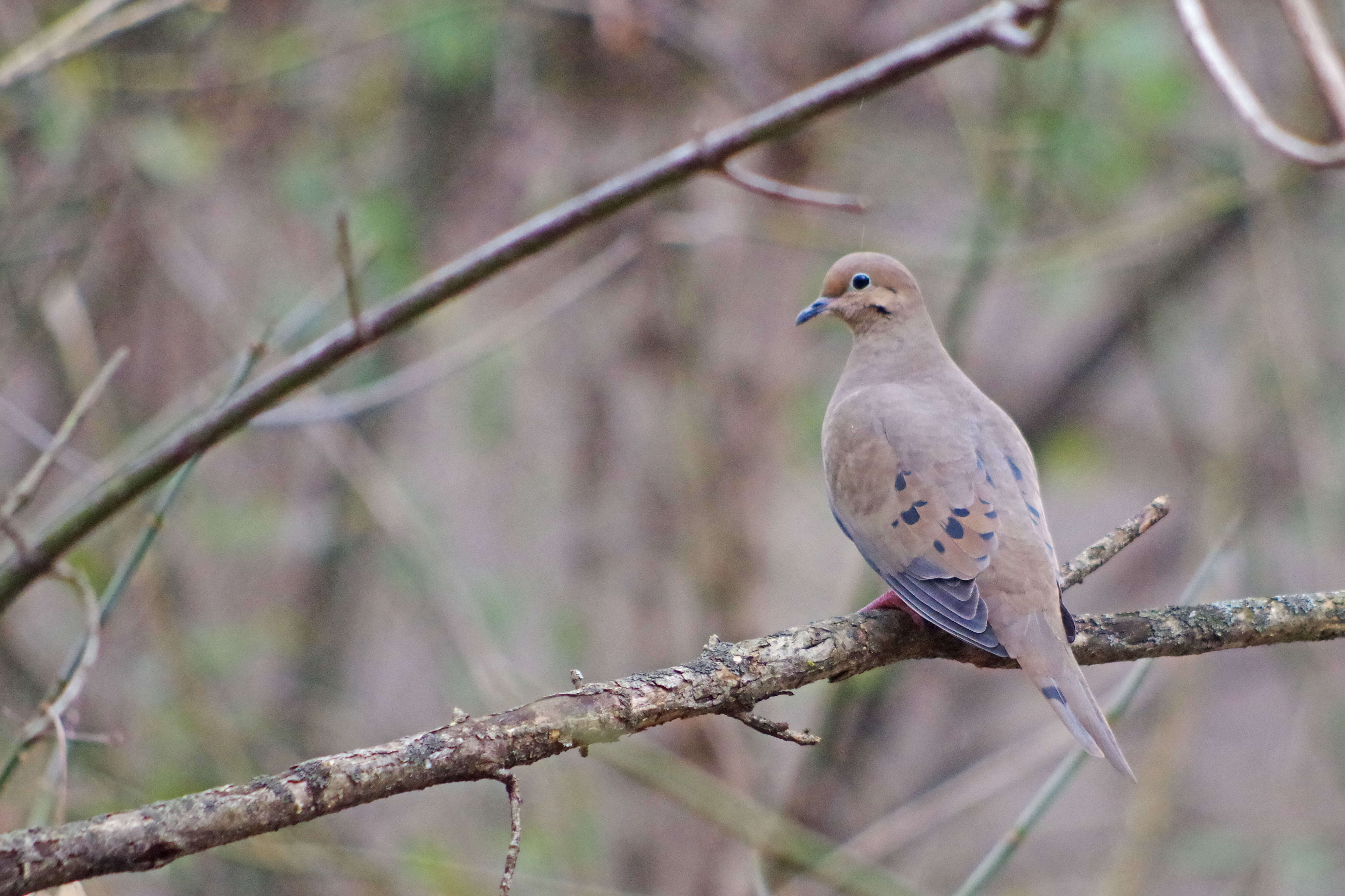 How to hunt doves in pa the best dove 2017 for Pa fish for free days 2017