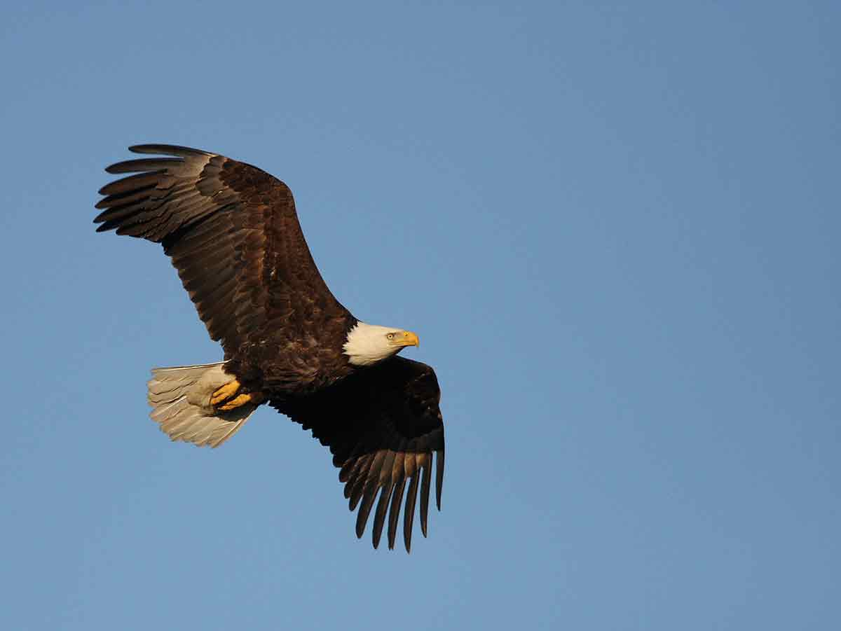 Eagle numbers are increasing.