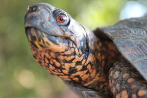 Box turtles are relatively small.