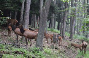 West Virginia is getting elk from Arizona in 2018.