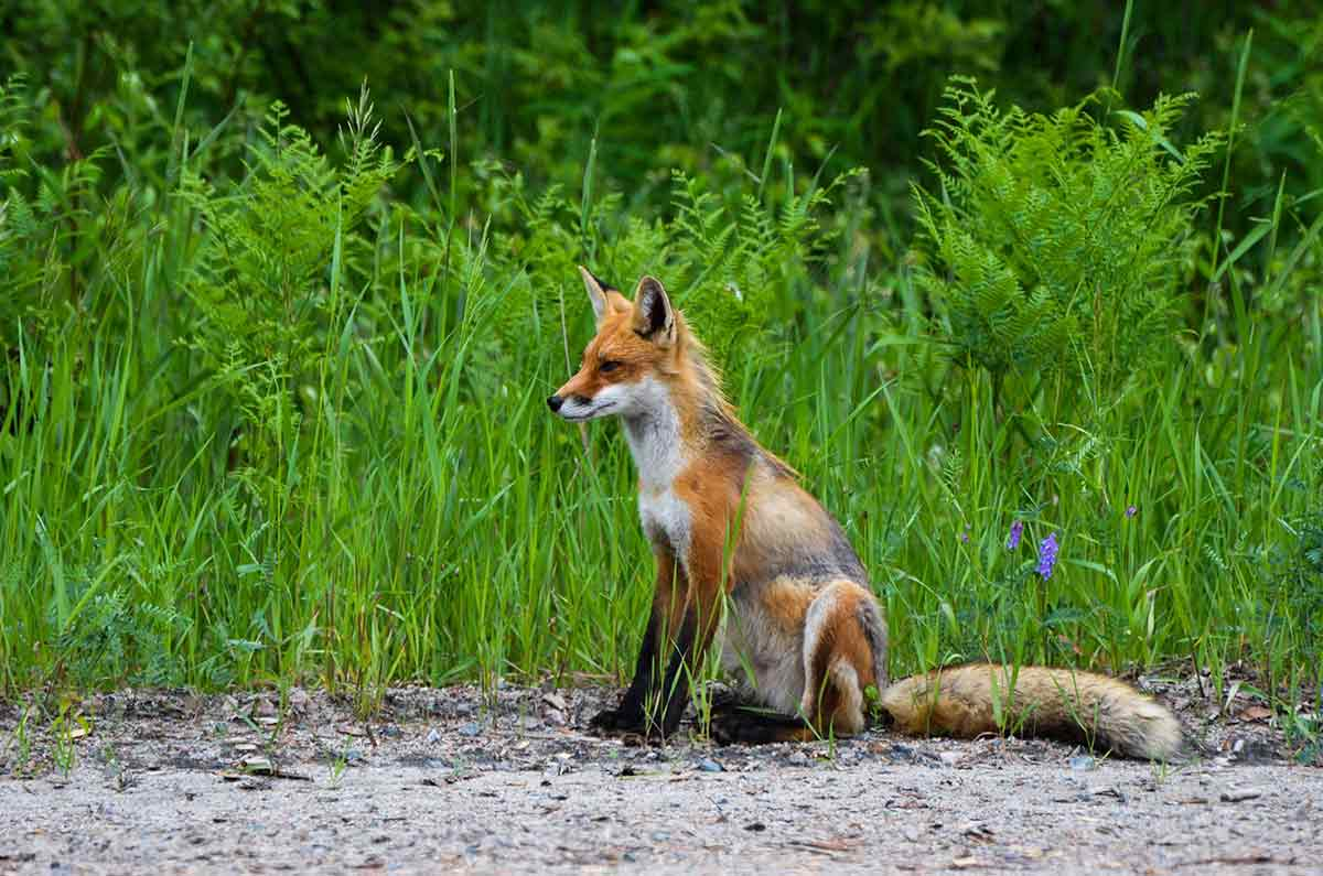 Coyotes and foxes can co-exist in urban settings.