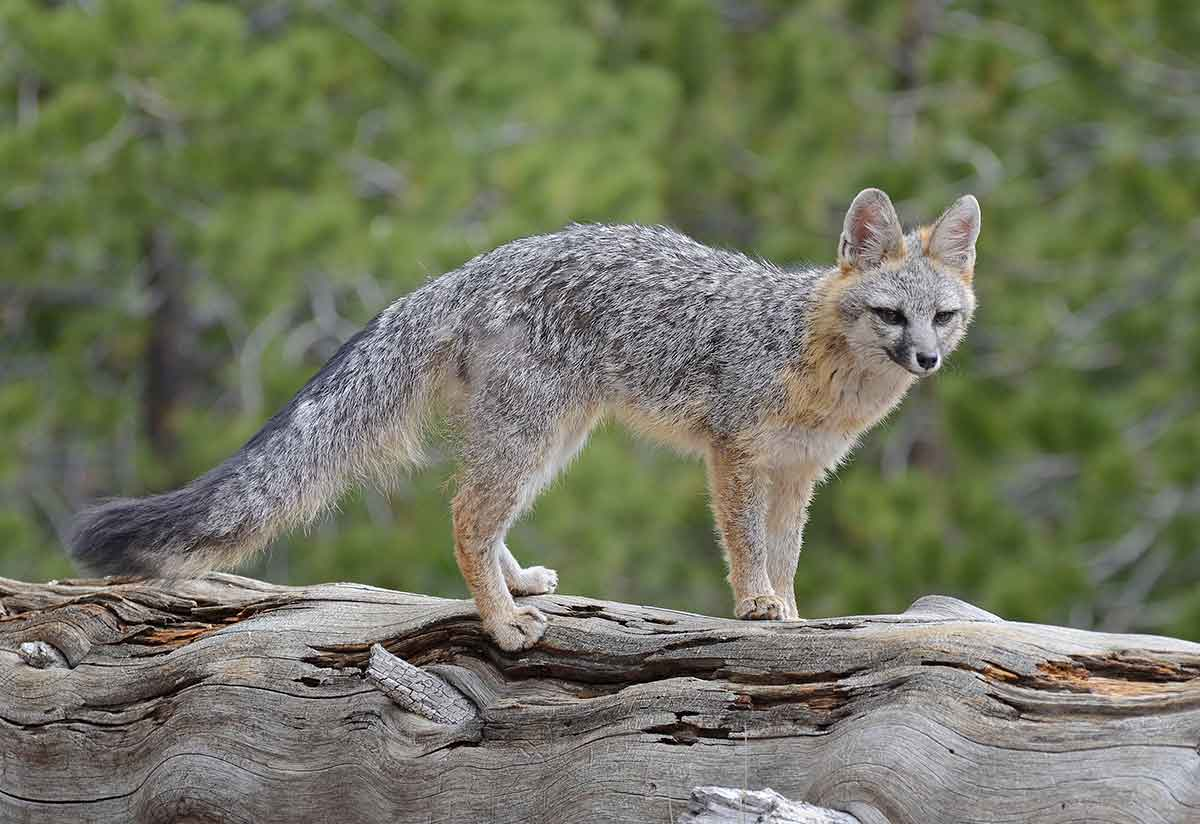 The gray fox is a special creature,
