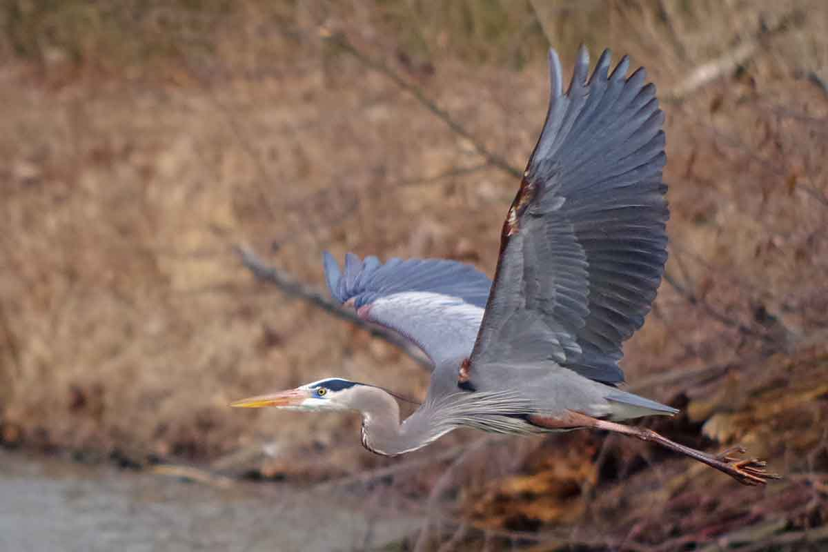 Great blue herons are large.