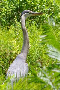 Great blue herons have long necks.