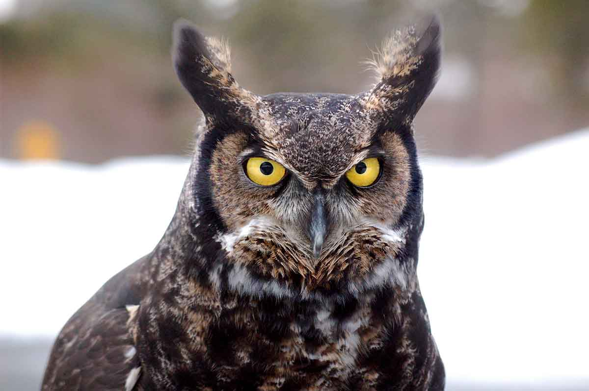 The great horned owl is an interesting animal.