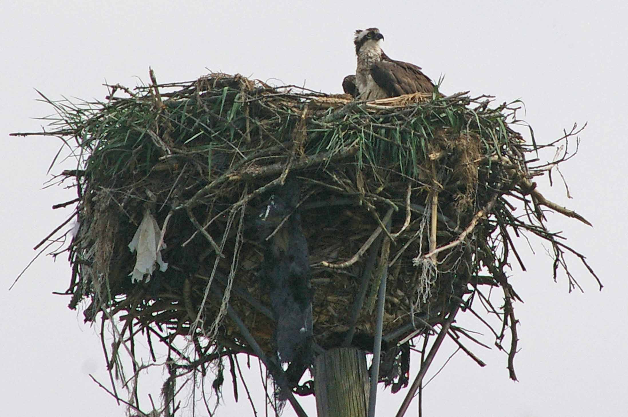 Ospreys are terrific fliers.