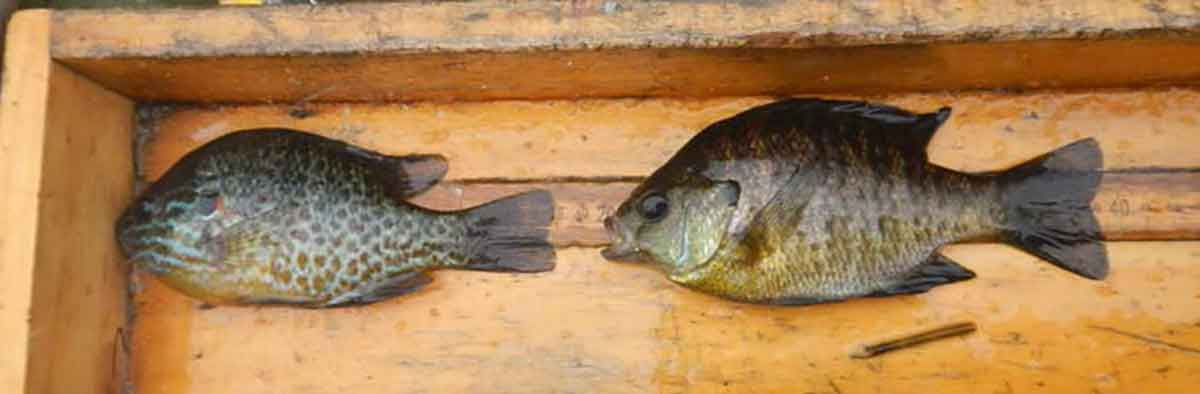 Panfish are tasty when prepared right.