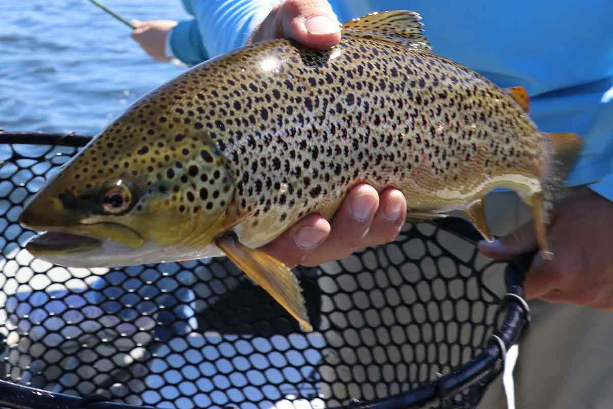 Wild brown trout populate Penns Creek in large numbers