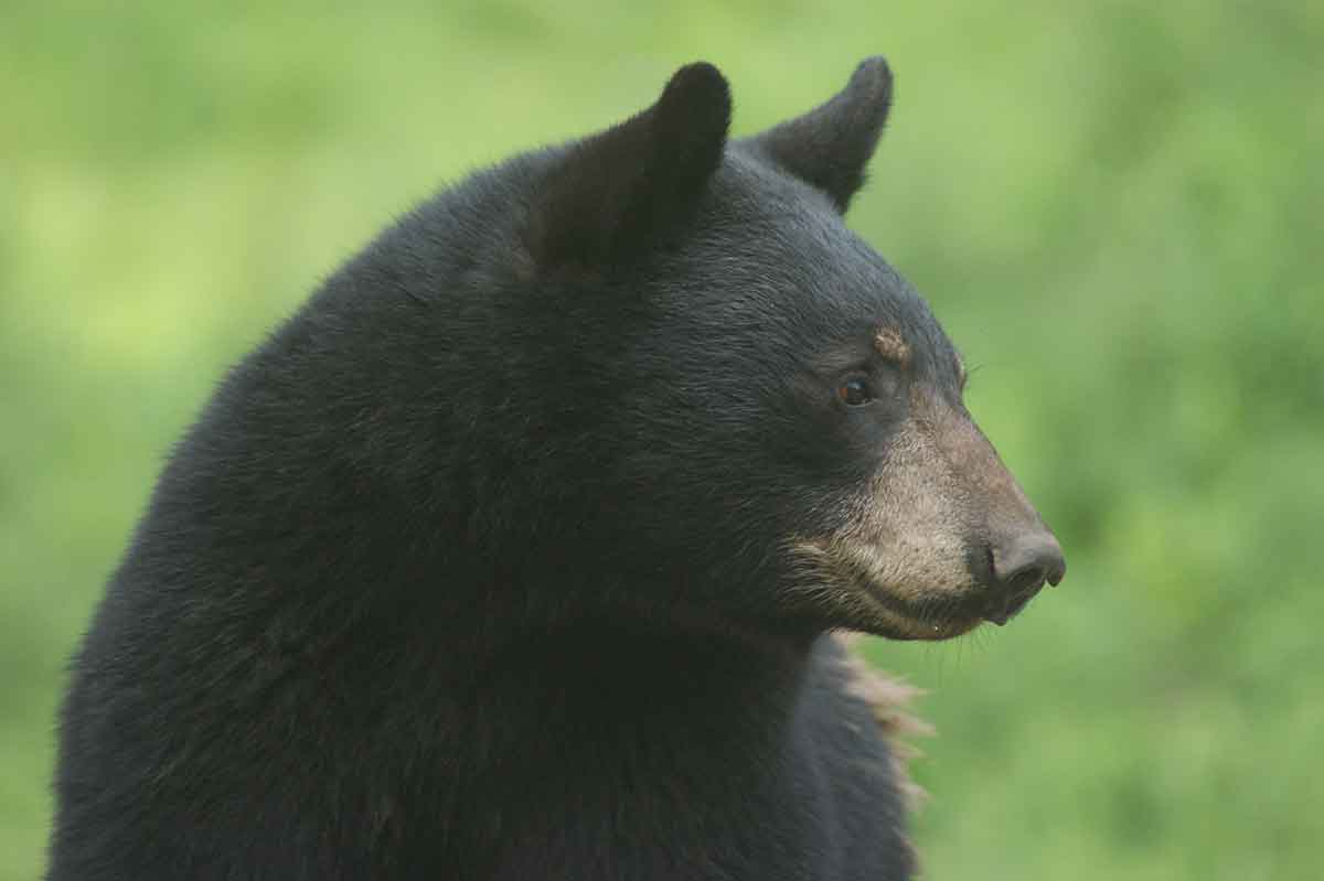 The statewide bear harvest is annually large.