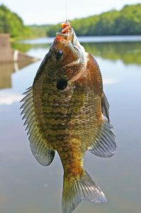 Summertime bluegills are a joy.