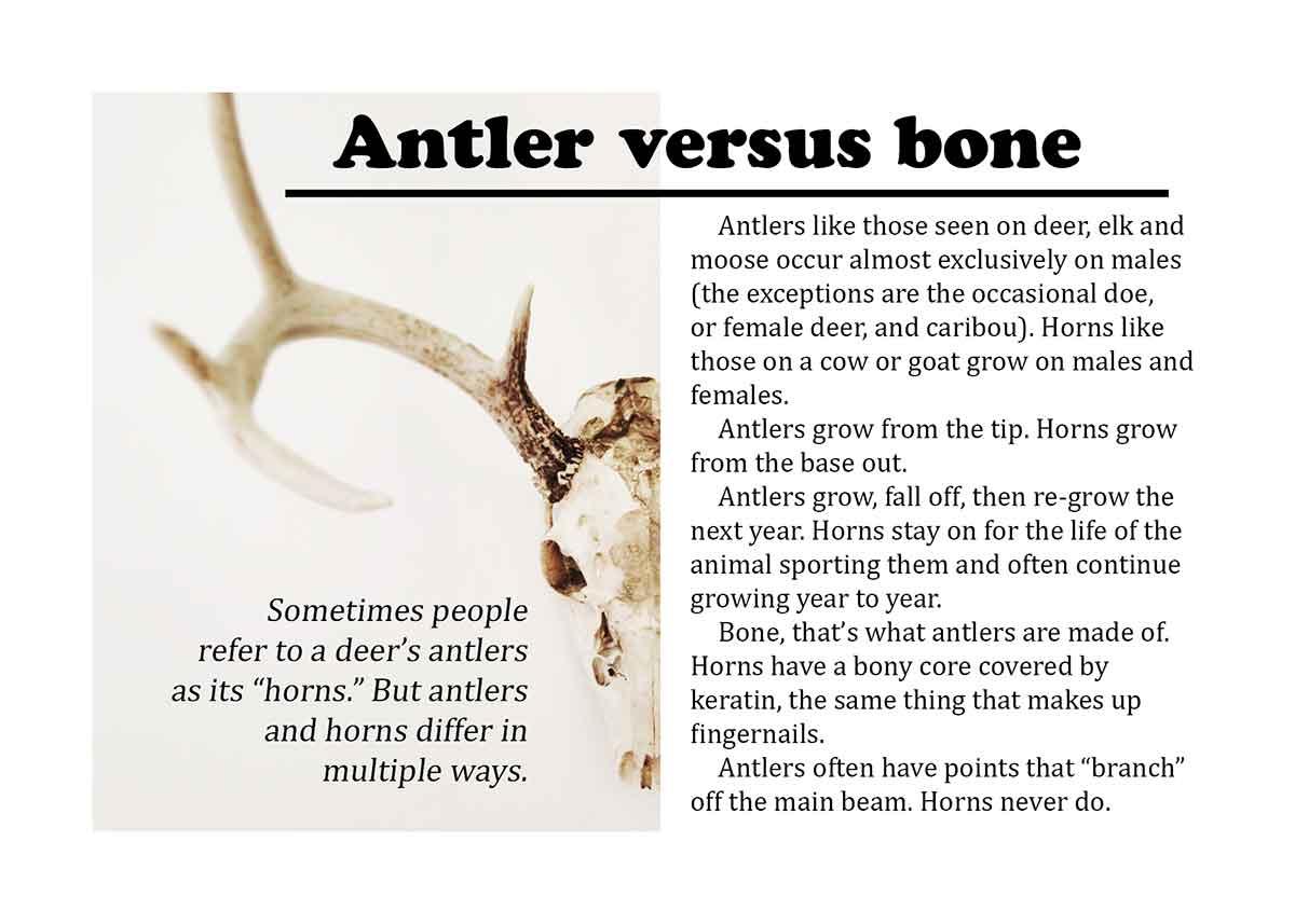 Velvet antlers are not horns.
