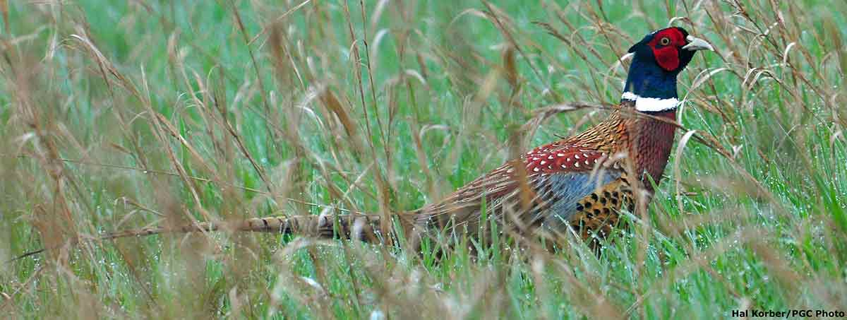 A special wild pheasants hunt offered lots of action.